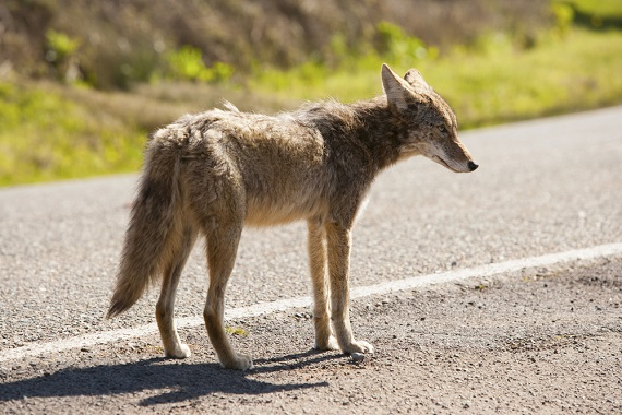 Home & yard safety: Deterring coyotes